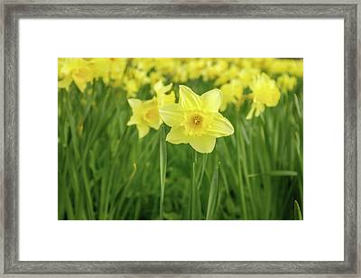 The Daffodils Framed Print