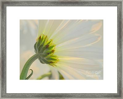 The Delicate Daisy Framed Print by Mary Deal