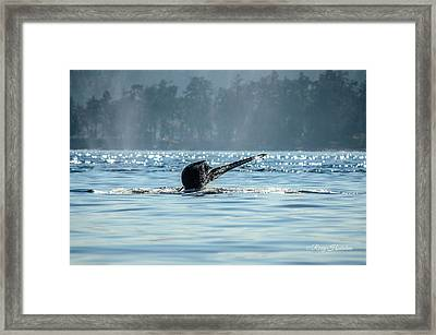 The Descent Humpback Whale Framed Print