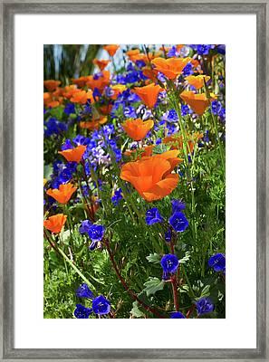 The Desert Blooms Framed Print by Phyllis Denton