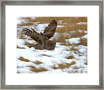 The Dive- Great Gray Owl Framed Print by Lloyd Alexander