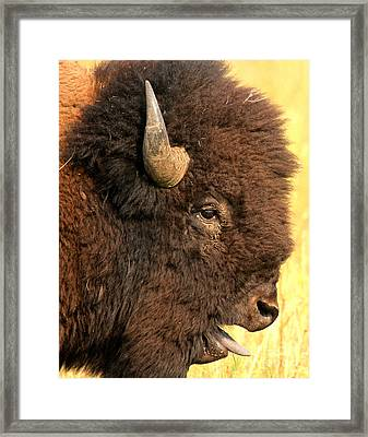 The Donald As A Bison Framed Print