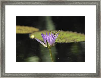 The Dragonfly And The Lily Framed Print