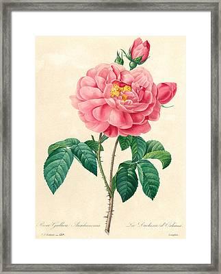 The Duchess Of Orleans Rose Framed Print