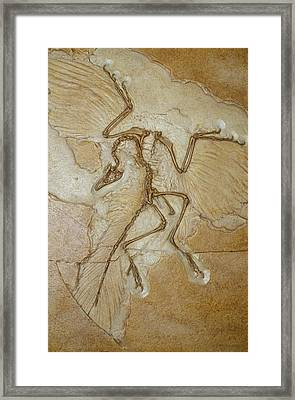 The Earliest Bird, Archaeopteryx Framed Print
