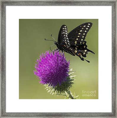 The Eastern Black Swallowtail  Framed Print