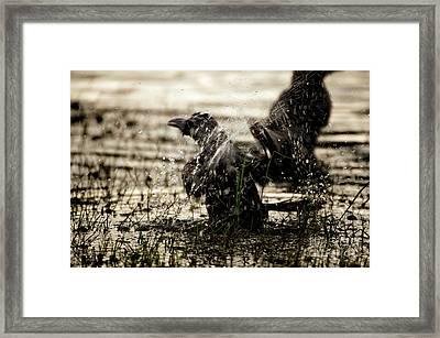 The Eastern Jungle Crow Corvus Macrorhynchos Levaillantii Framed Print by Venura Herath