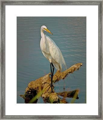 The Elegant Egret Framed Print