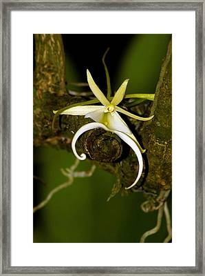 The Elusive And Rare Ghost Orchid Framed Print
