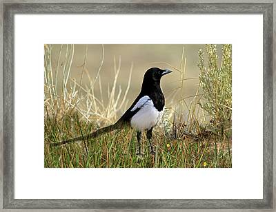 The Elusive Magpie Framed Print