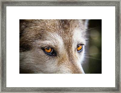 Framed Print featuring the photograph The Eyes Of A Great Grey Wolf by Teri Virbickis