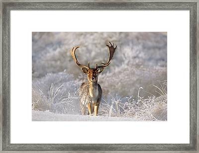 The Fallow Deer And The Frost Framed Print