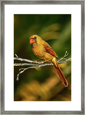 The Female Cardinal Framed Print