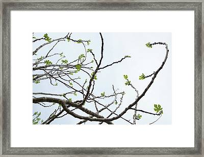 The Fig Tree Budding Framed Print