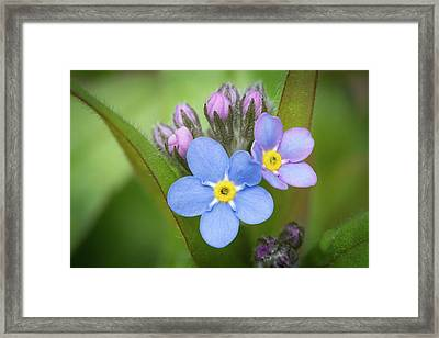 Framed Print featuring the photograph The First Blossom Of The Forget Me Not by William Lee