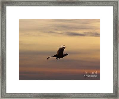 The Flight Of The Michigan Phesant Framed Print by Robert Pearson