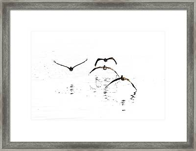 The Flight Of The Pelicans  Framed Print