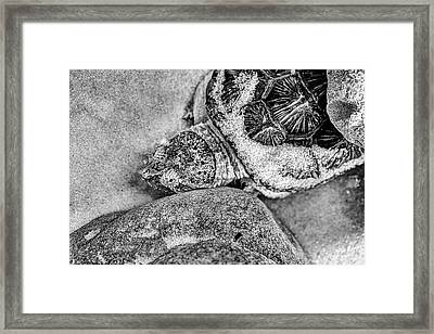 The Florida Snapping Turtle Framed Print