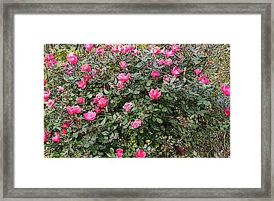 Framed Print featuring the photograph Rose Bush by Skyler Tipton