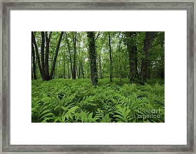 The Forest Of Ferns Framed Print