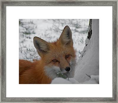 The Fox 4 Framed Print by Ernie Echols