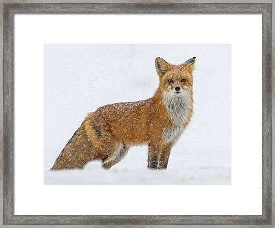 The Fox And The Blizzard #2 Framed Print