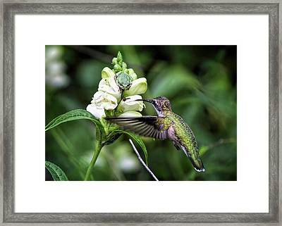 The Frog And The Hummingbird Framed Print by Ron Grafe