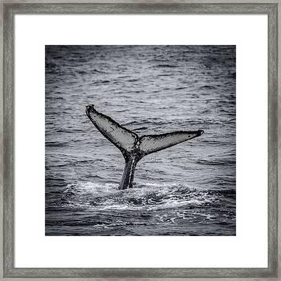 The Full Fluke Humpback Whale Framed Print