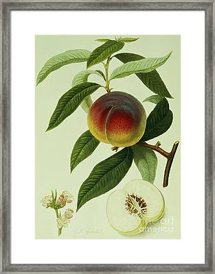 The Galande Peach Framed Print