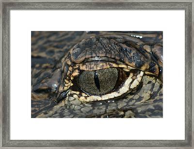 The Gators Eye Framed Print by Gary Perez