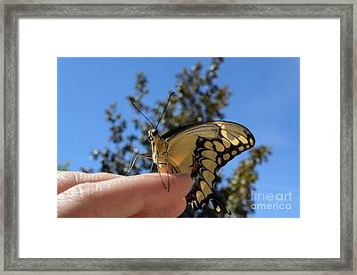 The Glorious Swallowtail  Framed Print