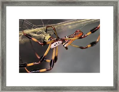 The Golden Orb Weaver Framed Print