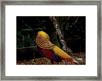The Golden Pheasant Or Chinese Pheasant -atlanta Ga, Zoo Framed Print