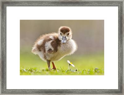 The Gosling And The Flower Framed Print by Roeselien Raimond