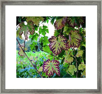 Framed Print featuring the photograph The Grape Vine by Corinne Rhode