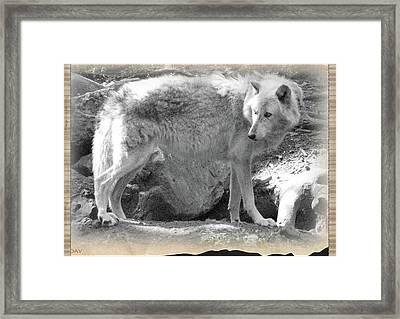 The Gray Wolf Framed Print by Debra     Vatalaro