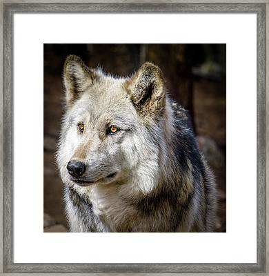 Framed Print featuring the photograph The Gray Wolf by Teri Virbickis