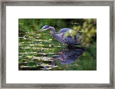 The Great Blue Heron Hunting For Food Framed Print by David Gn