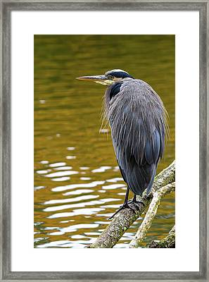 The Great Blue Heron Perched On A Tree Branch Framed Print by David Gn