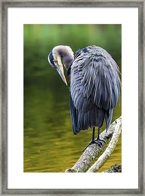 The Great Blue Heron Perched On A Tree Branch Preening Framed Print by David Gn
