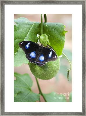 The Great Eggfly Butterfly Framed Print