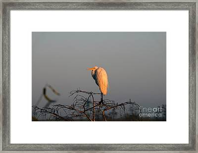 The Great Egret  Framed Print by David Lee Thompson