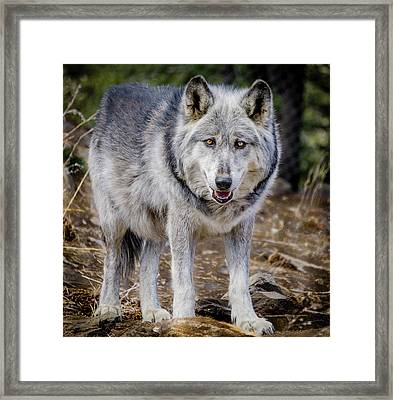 Framed Print featuring the photograph The Great Gray Wolf by Teri Virbickis