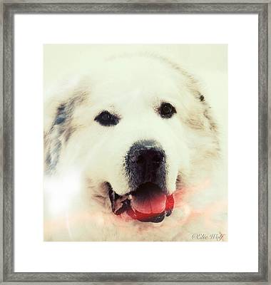 The Great Pyrenean Framed Print