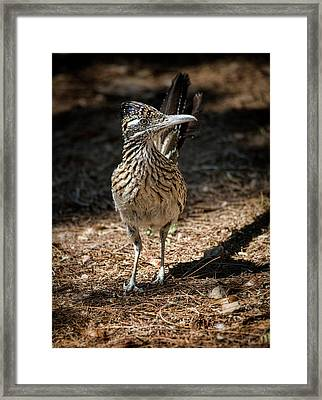The Greater Roadrunner Walk  Framed Print by Saija Lehtonen