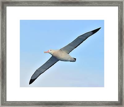 The Greatest Seabird Framed Print by Tony Beck