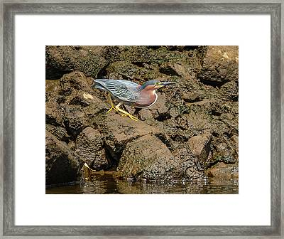 The Green Heron Framed Print by Jerry Cahill