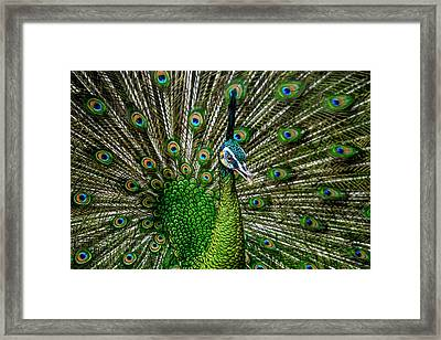 The Green Peacock Framed Print by Amri Arfianto