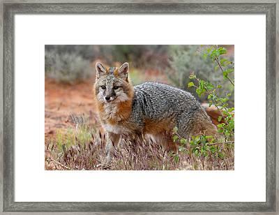 The Grey Fox Trot Framed Print by Dewain Maney