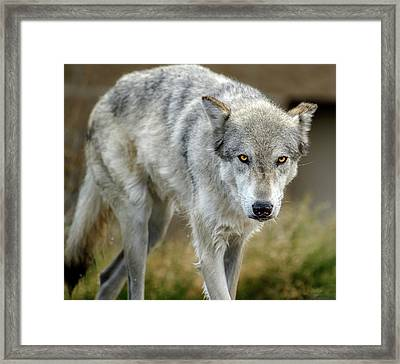 The Grey Wolf Shake Framed Print